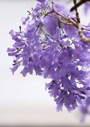 蓝花风铃花开花啦