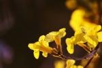夜幕下的黄金风铃木