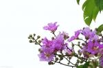 花团锦簇  大花紫薇