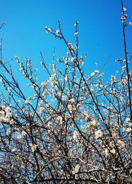 大王山公园看梅花