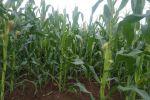 家乡的玉米快可以拔来吃……