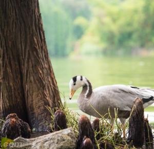 摄影师镜头下的斑头雁