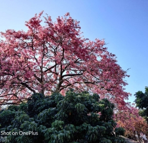 羅錦村網紅樹(異木棉、美人花)盛開