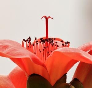 阳春三月木棉红
