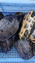 红土茯苓煲外塘龟,现货实拍的靓不靓自己看,1302