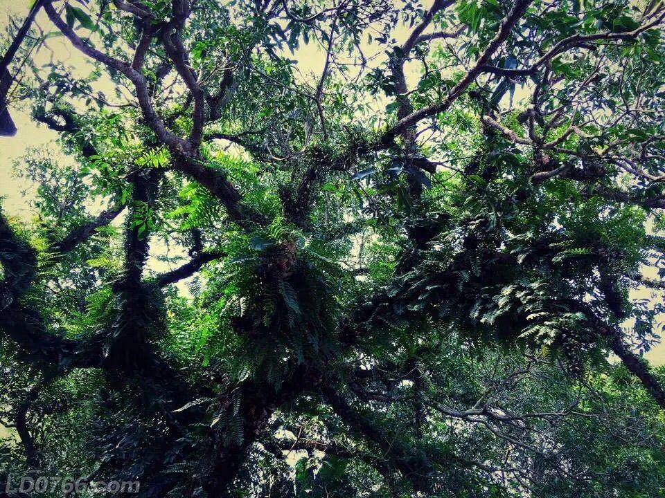 据说这棵大树是粤西芒果王