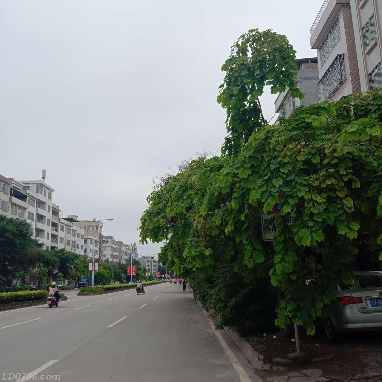 大新前路的树该修剪了
