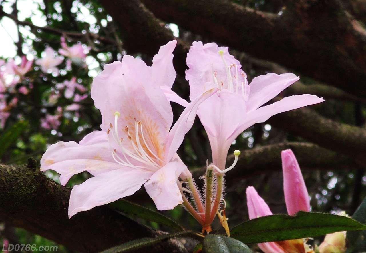 来,八排山赏花,杜鹃花正艳!