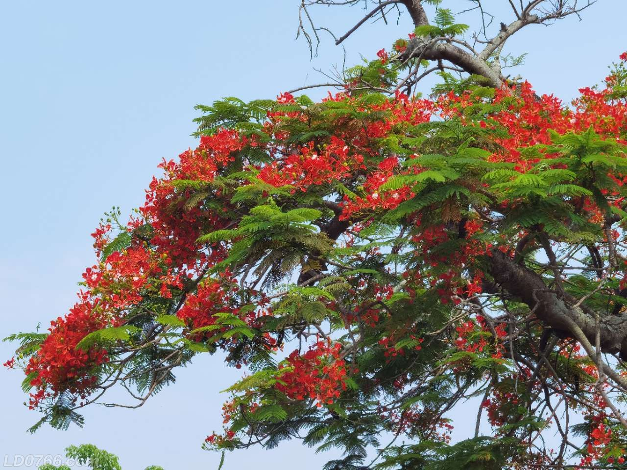 娇艳欲滴,鲜红如血,来看罗定学宫百年凤凰树花!